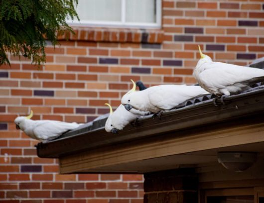 sulphur crested cockatoos sitting on a roof of a Sydney home